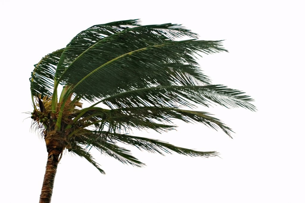 A Palm Tree Stressed by the Winds of Hurricane Frances : Stock Photo