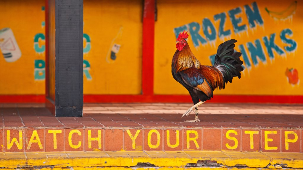 Visitors may be surprised to find chickens roaming the streets of Key West. Many consider the birds a part of Key West's history and character. Others want them gone. The colorful, free-roaming Key West 'Gypsy' chicken is at the center of a debate that often pits neighbor against neighbor. The 'Chicken Wars' are fought by those who enjoy the birds and believe they belong in Key West, versus those who consider them a nuisance and a danger to human health and the ecosystem. : Stock Photo