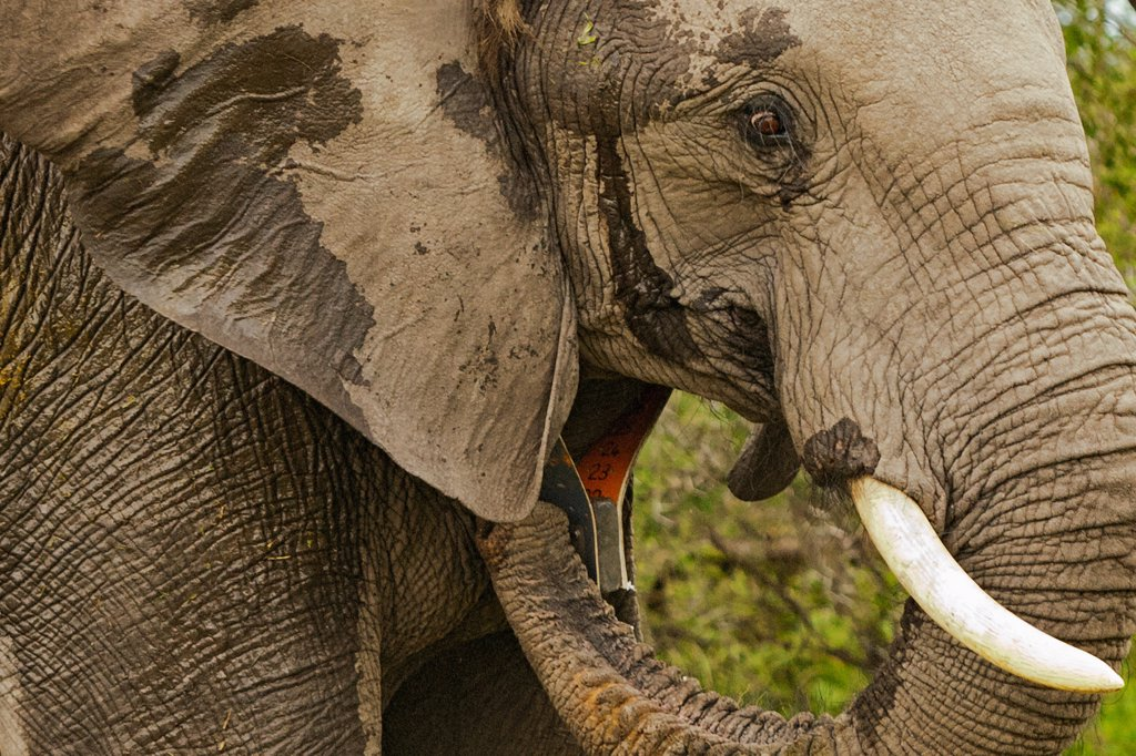 An elephant in the Okavango Delta of Botswana has been darted and outfitted with a electronic tracking collar. The collar helps to protect against poaching and enables scientists to learn more about the migratory behavior of elephants.  Elephants are the largest land animals now living. : Stock Photo