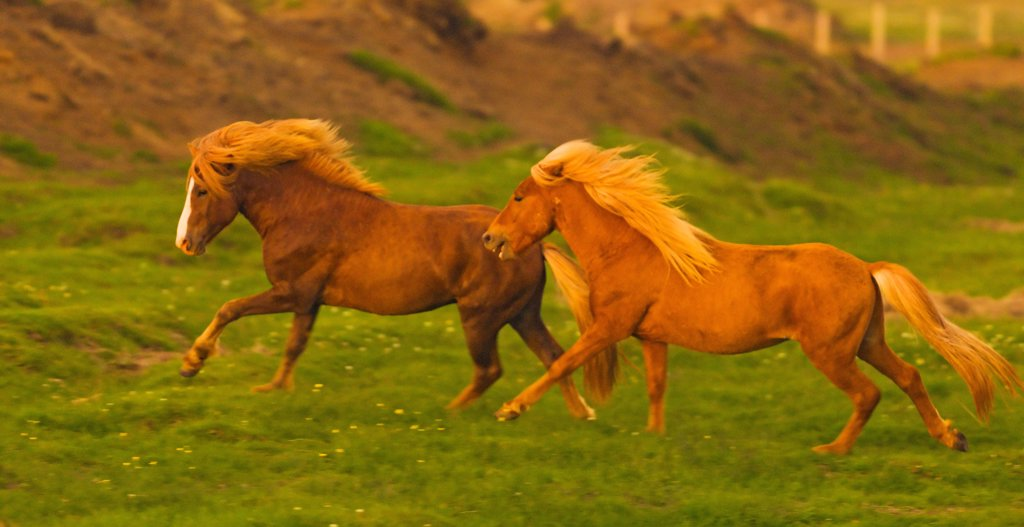 Icelandic horses running in the coastal area in the south of Iceland. Icelandic horses are long-lived and hardy. The breed is still used for traditional farm work in its native country, as well as for leisure, showing, and racing. : Stock Photo