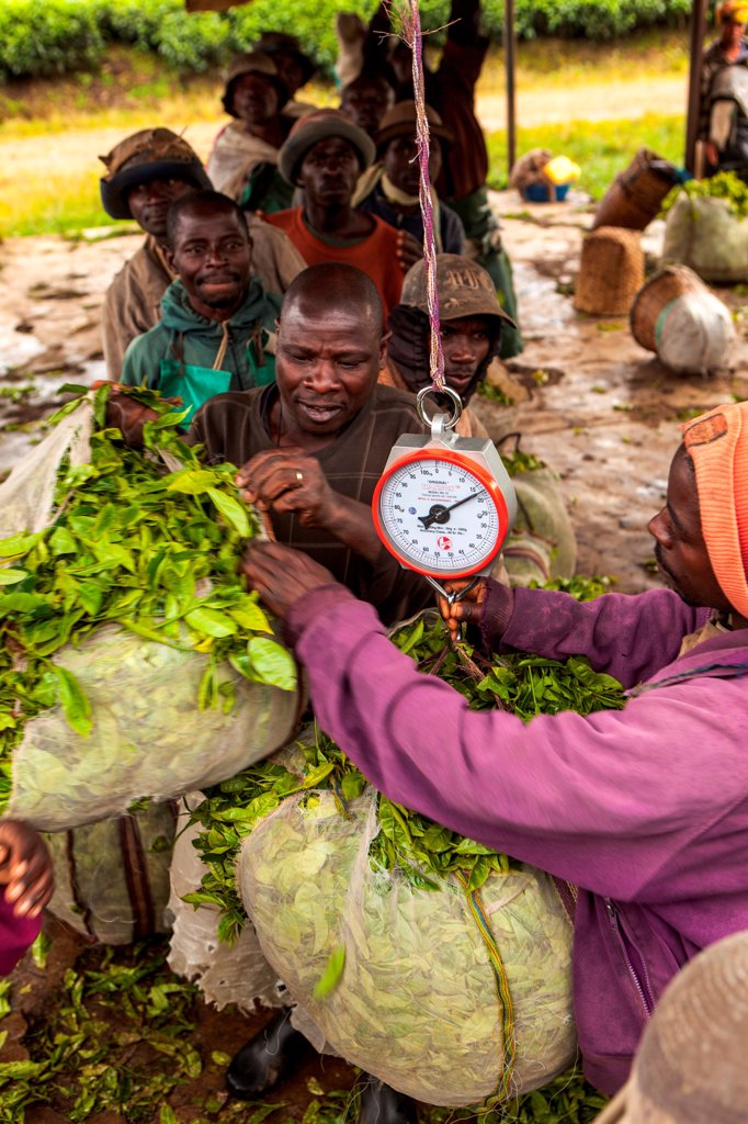 Harvested bales of tea are weighed after picking in Rwanda. : Stock Photo