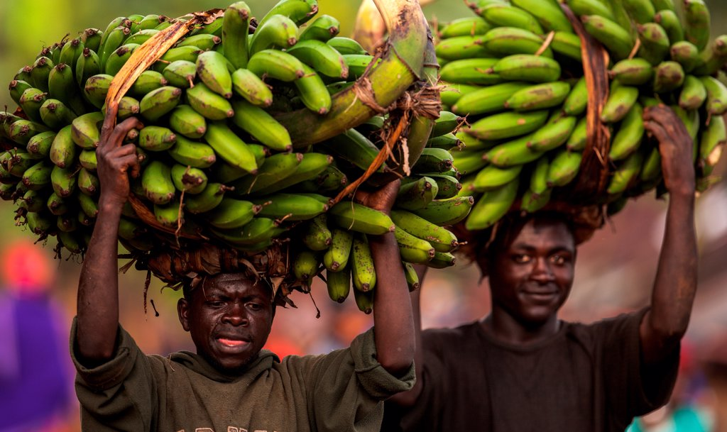 Stock Photo: 4355-2175 Two men carrying bales of bananas to market in Rwanda
