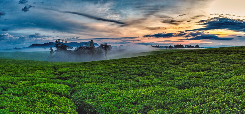 Vast tea plantation in Rwanda : Stock Photo