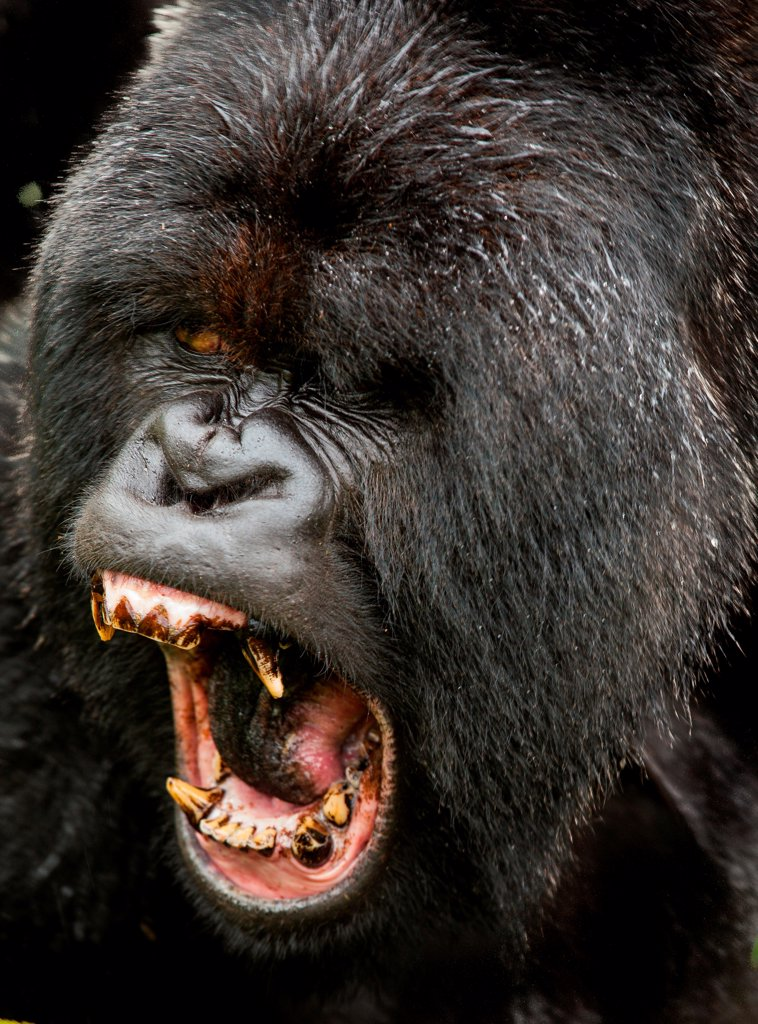 A large male Silverback Gorilla ezpressing his dominance in Rwanda : Stock Photo