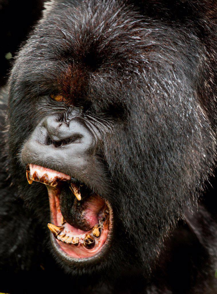 Stock Photo: 4355-2197 A large male Silverback Gorilla ezpressing his dominance in Rwanda