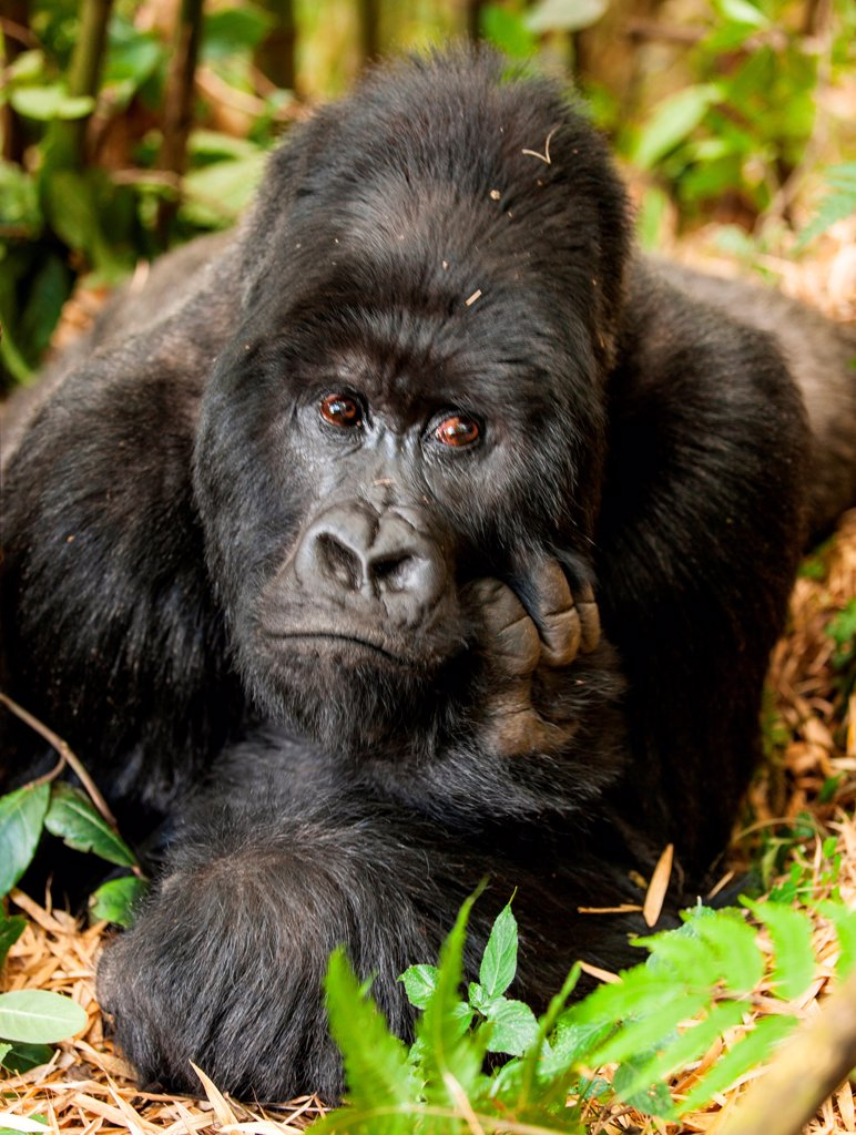 Stock Photo: 4355-2199 A large Silverback Gorilla in the Rwanda jungle.