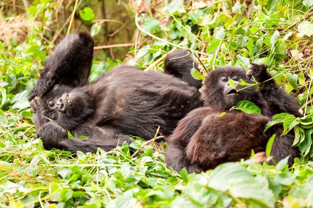 Two young gorillas play in the Rwanda jungle. : Stock Photo