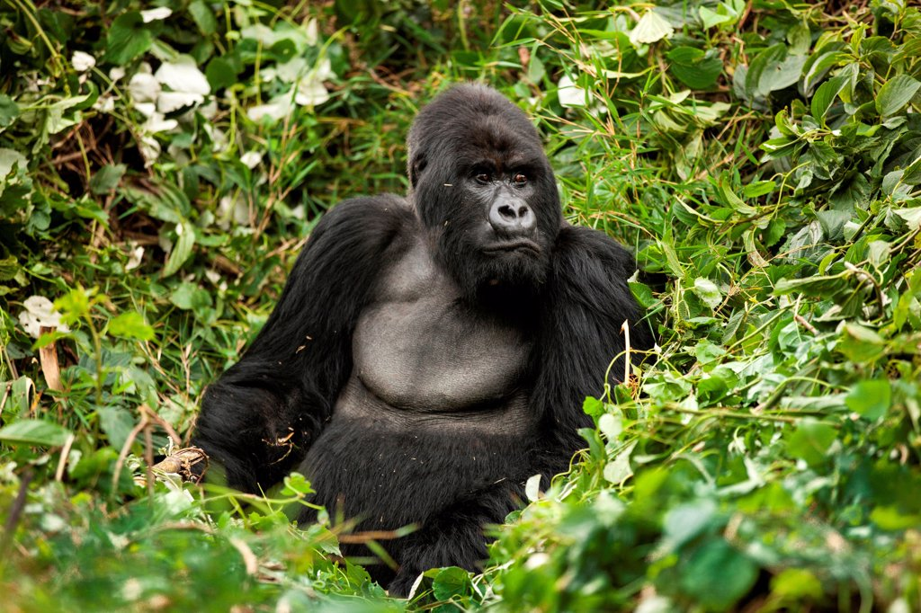 Male Silverback Mountain Gorrilla in Rwanda : Stock Photo
