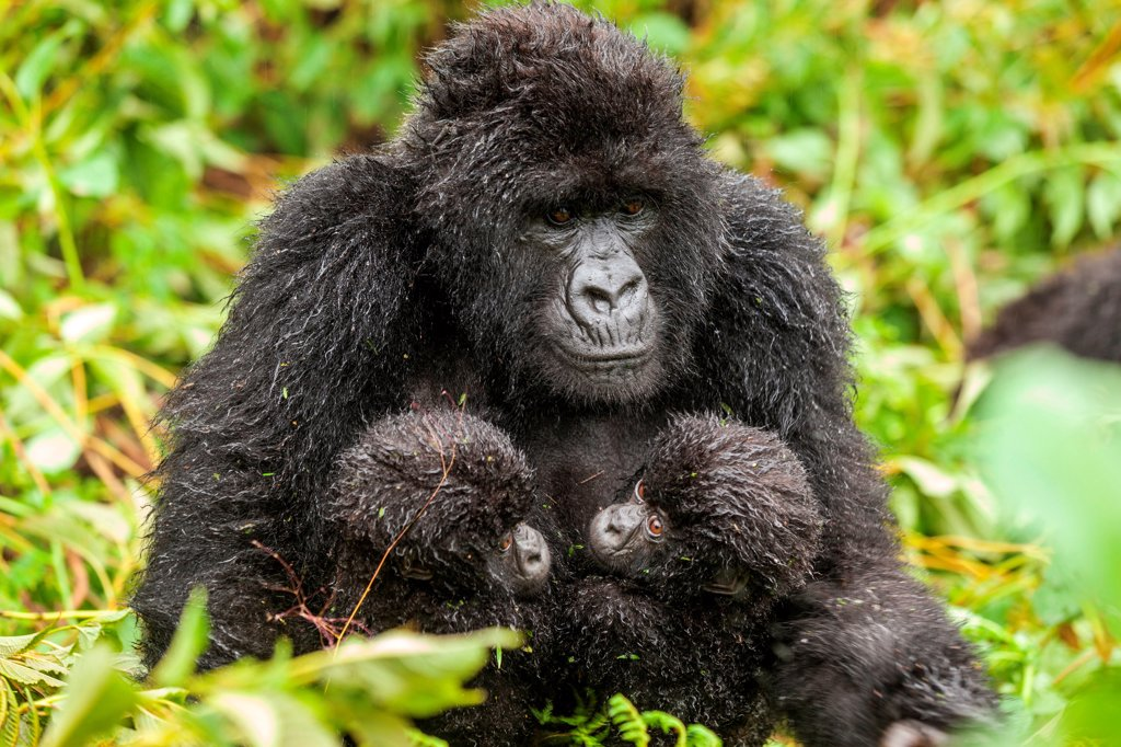 A mother gorilla with her two twins in Rwanda : Stock Photo