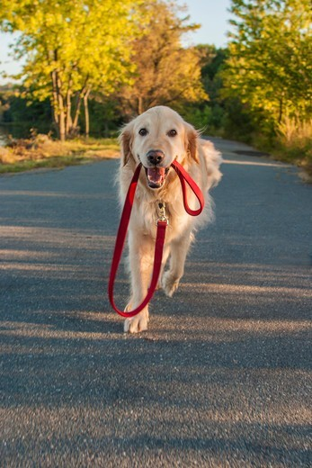 Stock Photo: 4362-859 Golden Retriever walking herself down road, holding her own leash in mouth