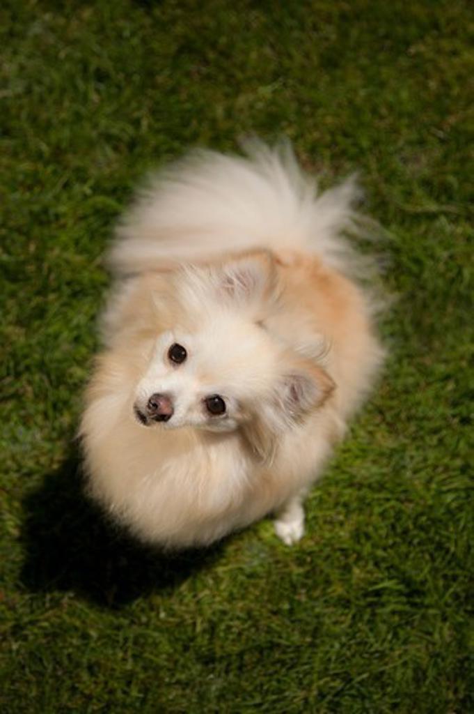 Stock Photo: 4362-911 Pomeranian dog sitting on grassy lawn