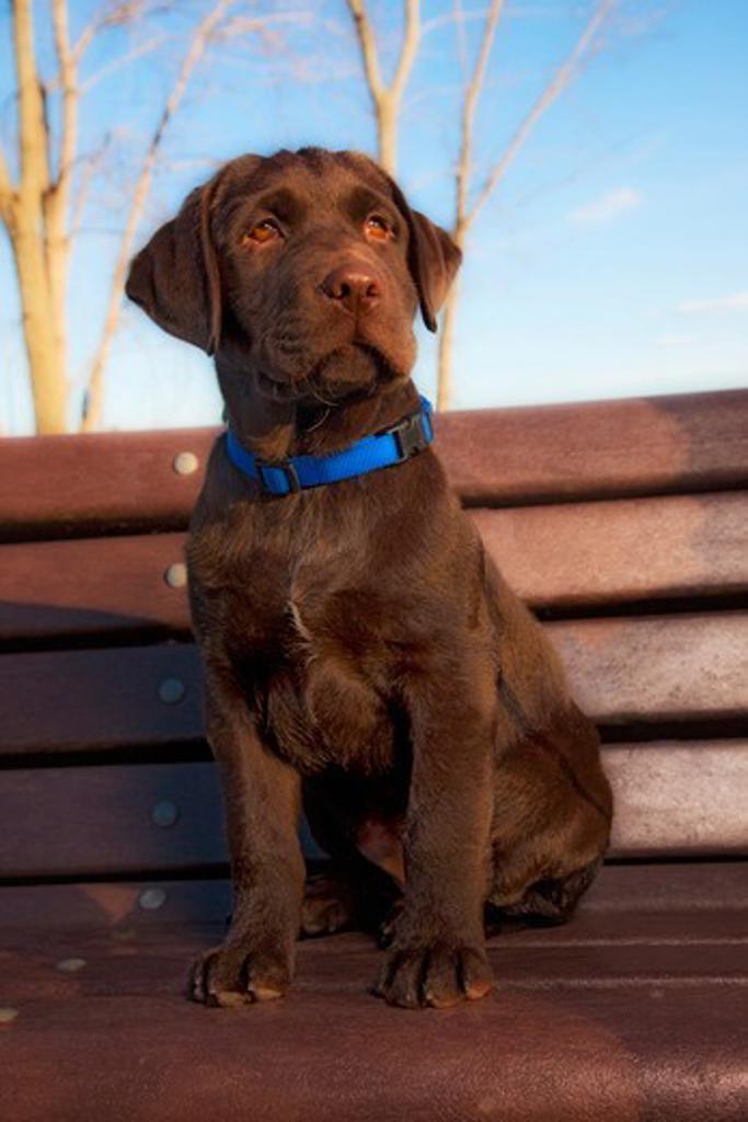 Stock Photo: 4362-921 Chocolate Labrador Retriever puppy sitting on park bench