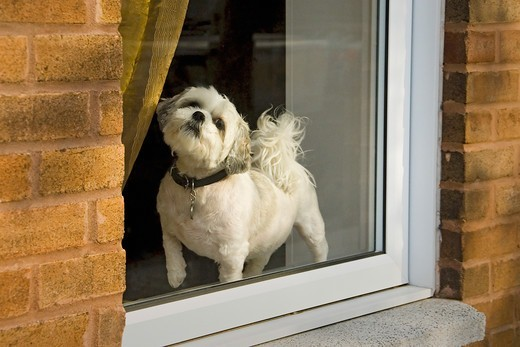 Stock Photo: 4365-103 Dog in Window