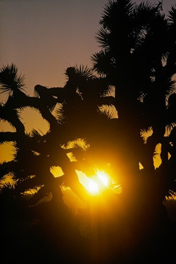 A Joshua tree silhouetted by the setting sun in California's Mojave Desert. The largest of the yuccas, Yucca brevifolia, it is characteristic of the Mojave Desert, and symbolic for the area. Mormon pioneers named the species Joshua, seeing in its uplifted branches the image of a person in prayer, gesturing wildly, pointing the way to a Biblical Promised Land. : Stock Photo