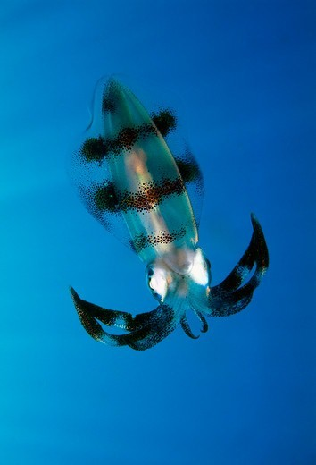 Stock Photo: 4370-107 Bigfin Reef Squid in Papua New Guinea