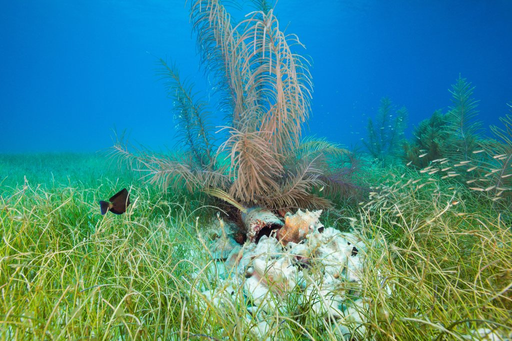 Trumpetfish (Aulostomus maculatus) in grassbed habitat off the coast of Belize in the Caribbean, Central America : Stock Photo