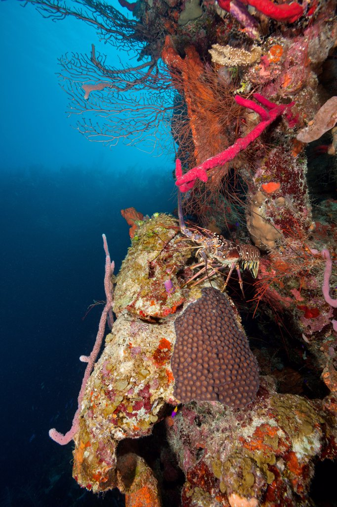 Caribbean Spiny Lobster (Panulirus argus) surrounded by healthy reef system of corals and sponges off the coast of Belize in the Caribbean, Central America : Stock Photo