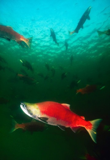 Stock Photo: 4372-240 Spawning Sockeye Salmon