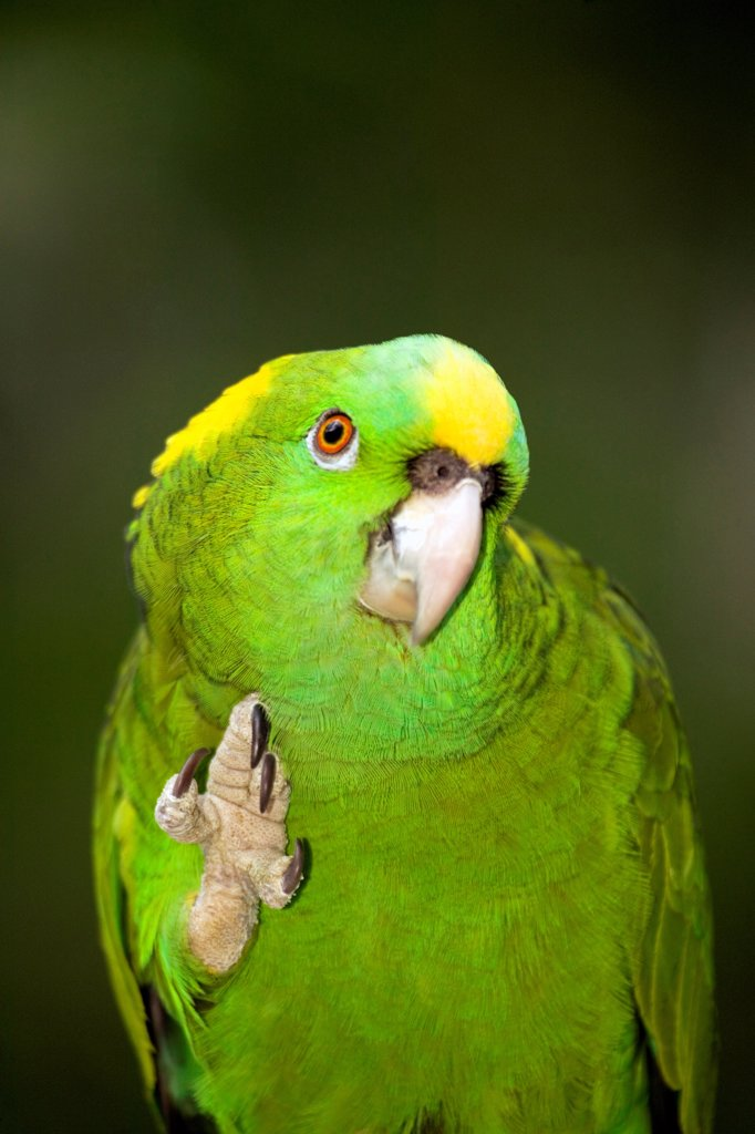 Stock Photo: 4372-267 Yellow-Naped Amazon Parrot