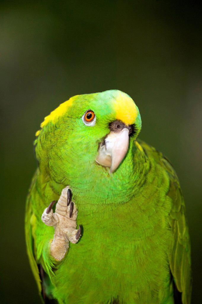Yellow-Naped Amazon Parrot : Stock Photo