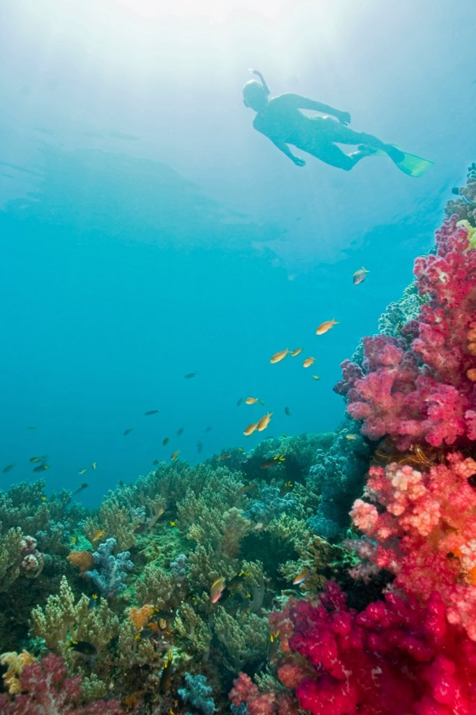 Snorkeler Glides Past Vibrant Soft Corals : Stock Photo