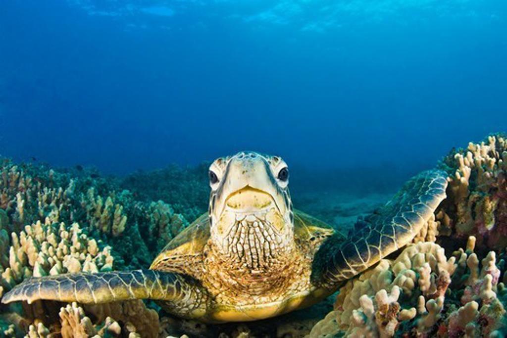 Stock Photo: 4372-397 Green Sea Turtle