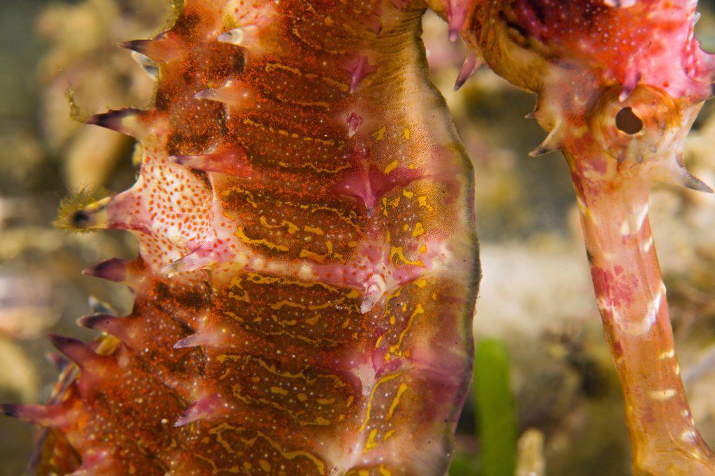 Thorny Seahorse : Stock Photo