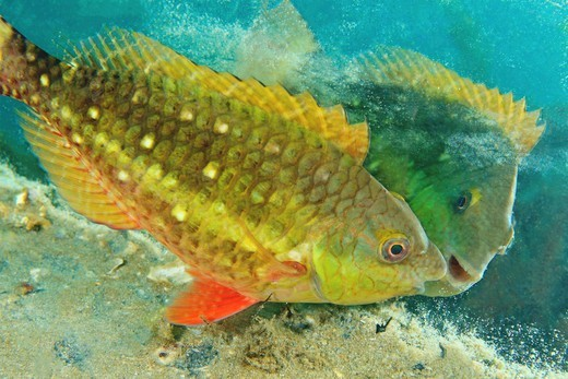 Stock Photo: 4372-565 Stoplight Parrotfish viewing its reflection in a discarded mirror.