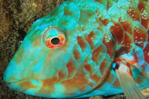 Stock Photo: 4372-581 Stoplight Parrotfish, Sparisoma viride at night.