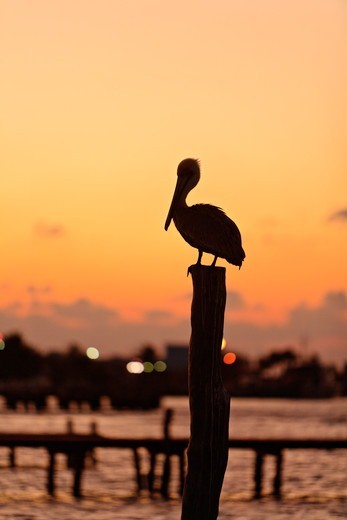 Stock Photo: 4372-733 Pelican on a post.