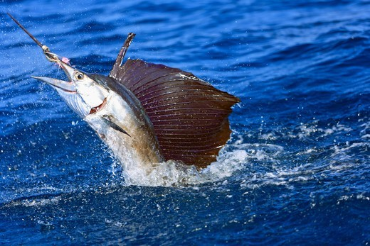 Hooked sailfish, Istiophorus albicans, jumping and fighting. : Stock Photo