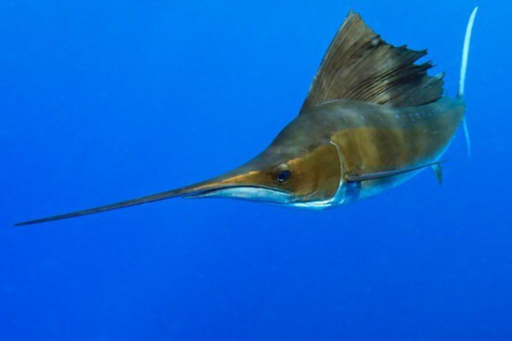 Stock Photo: 4372-748 Sailfish, Istiophorus albicans.
