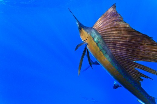 Sailfish, Istiophorus albicans. : Stock Photo