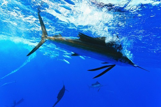 Stock Photo: 4372-755 Sailfish, Istiophorus albicans, feeding on Brazilian Sardinella, Sardinella brasiliensis.