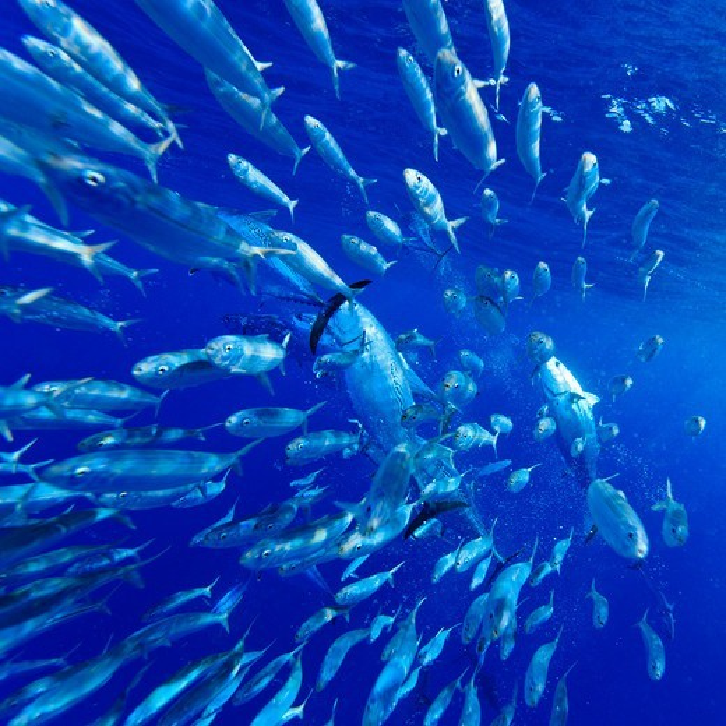 Skipjack tuna, Katsuwonus pelamis, feeding on Brazilian Sardinella, Sardinella brasiliensis. : Stock Photo