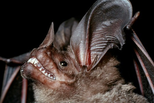 Stock Photo: 4373-1049 Head of a Frog-Eating Bat