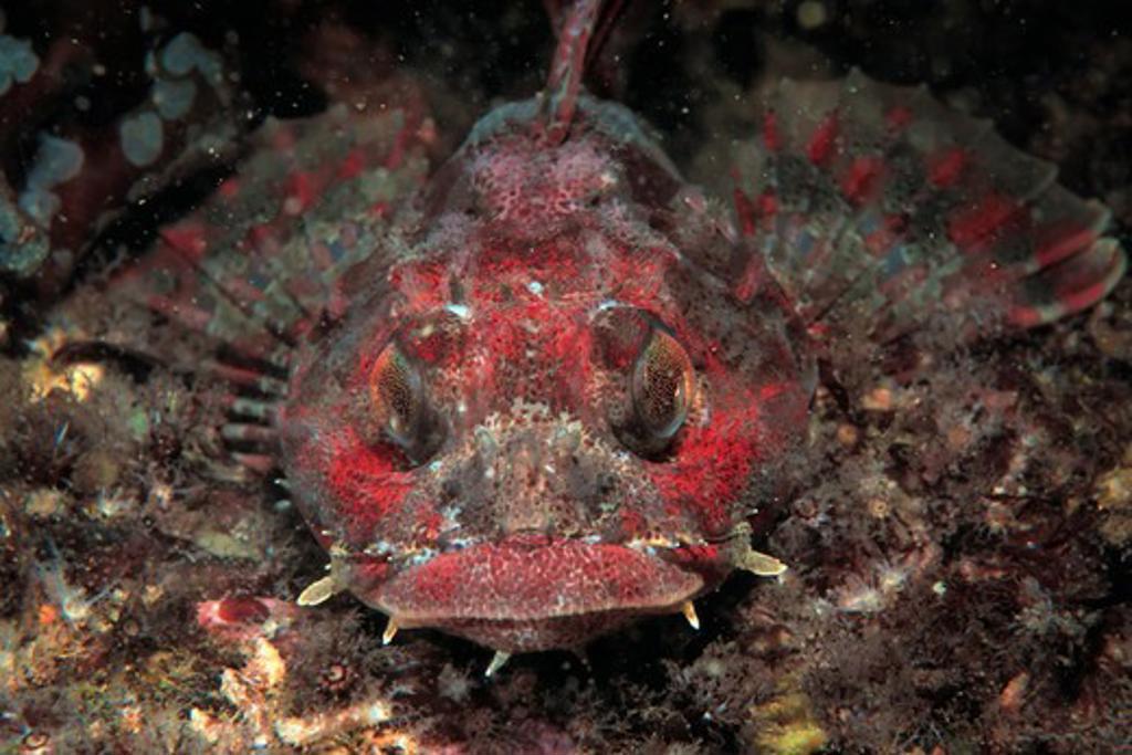 Stock Photo: 4373-1314 Red Irish Lord Fish