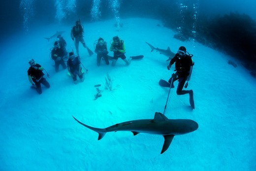Caribbean Reef Shark is Attracted by Bait : Stock Photo