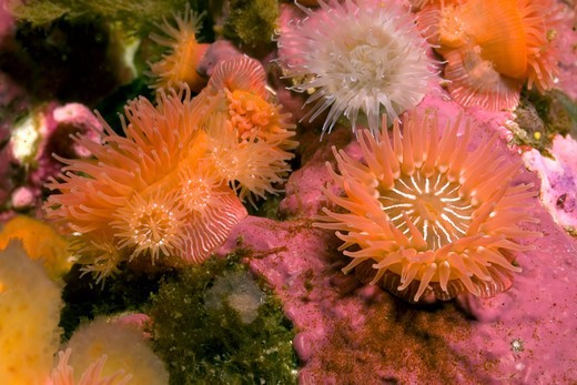 Stock Photo: 4373-571 Sea Anemones Brooding Young