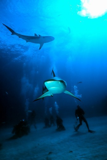 Stock Photo: 4373-788 Caribbean Reef Shark