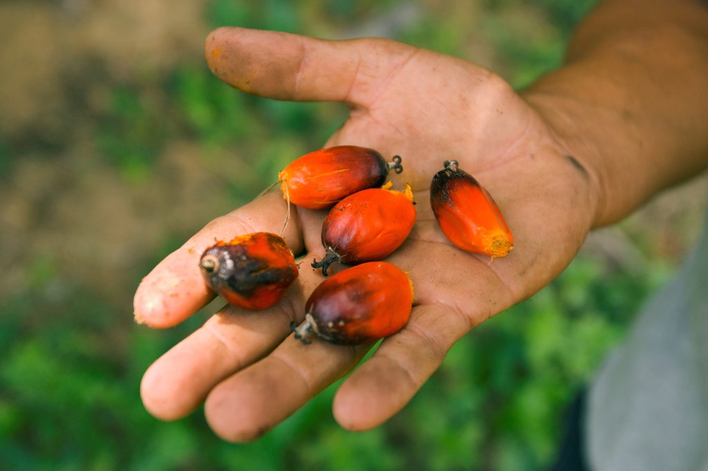 Stock Photo: 4377-362 Close up of a laborer's hand holding harvested ripe fruits from the African Palm oil tree, Elaeis guineensis. The oil from inside the shell and kernel is in demand for foods, soap, and candles. Farming now endangers rainforests worldwide.