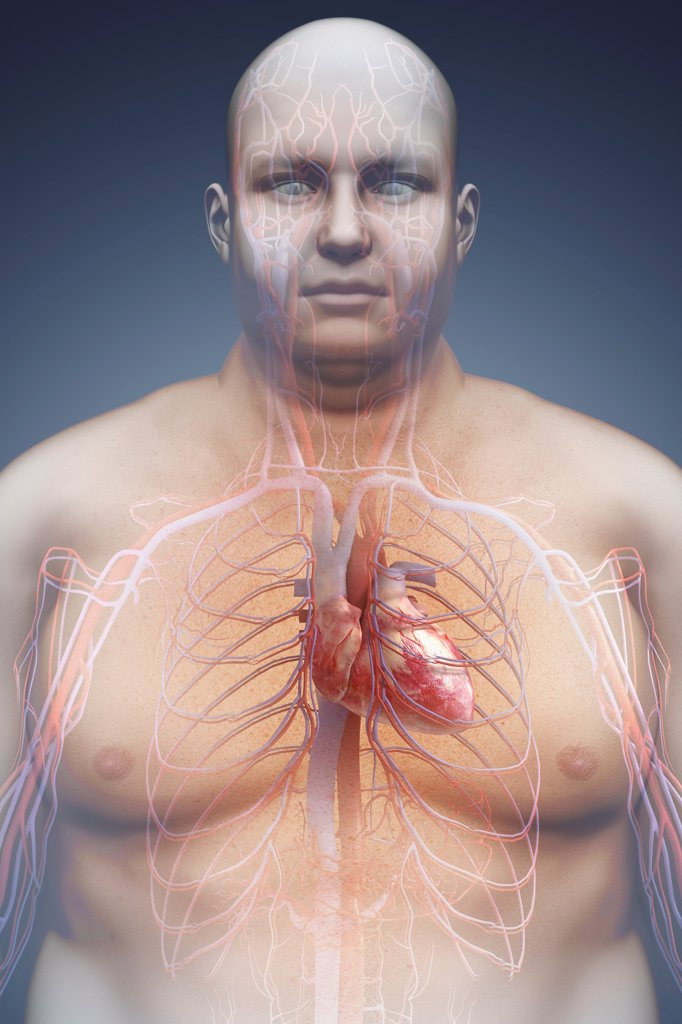 Image of the cardiovascular system layered over an overweight man's body to show the relationship between obesity and heart disease. : Stock Photo
