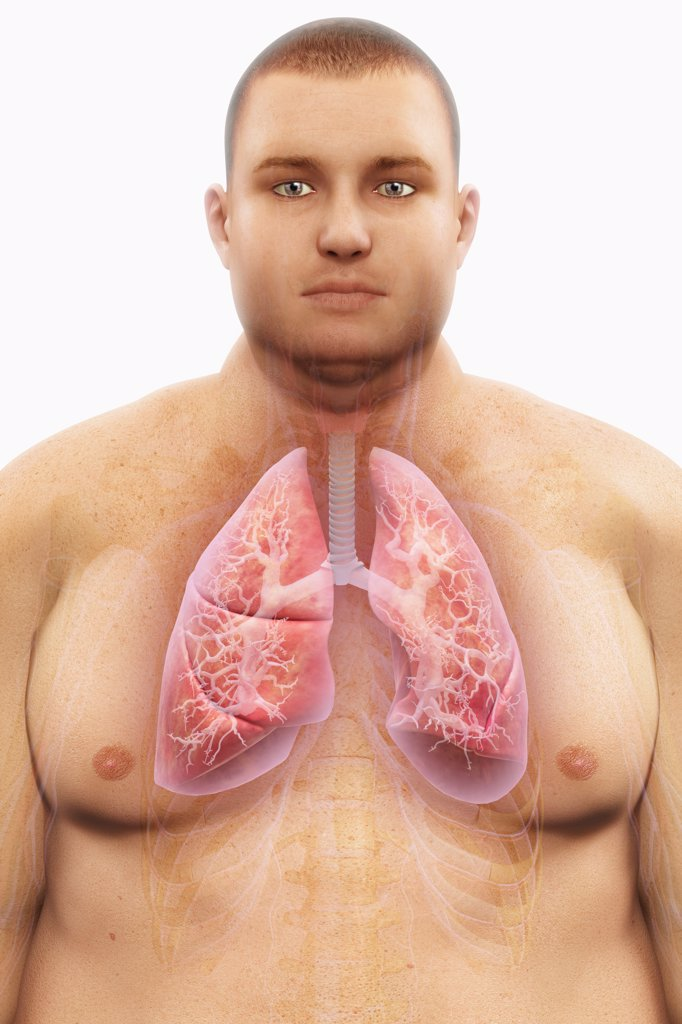 Human lungs layered over an overweight man's body to show the relationship between obesity and respiratory disorders. : Stock Photo