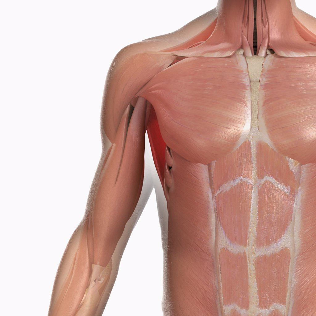 Stock Photo: 4378-1448 Anatomical model showing the deltoid, pectoralis major and abdominal muscles.