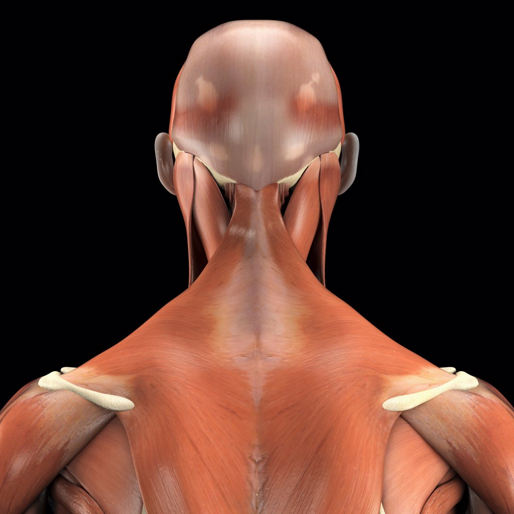 A human model showing the trapezius muscle. : Stock Photo