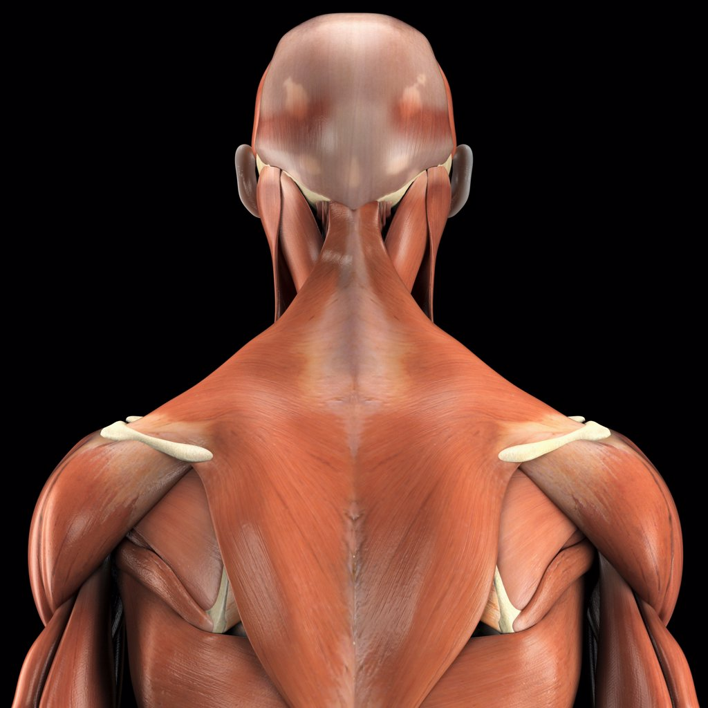 A human model showing the deltoid and trapezius as well as muscles in the neck and face. : Stock Photo