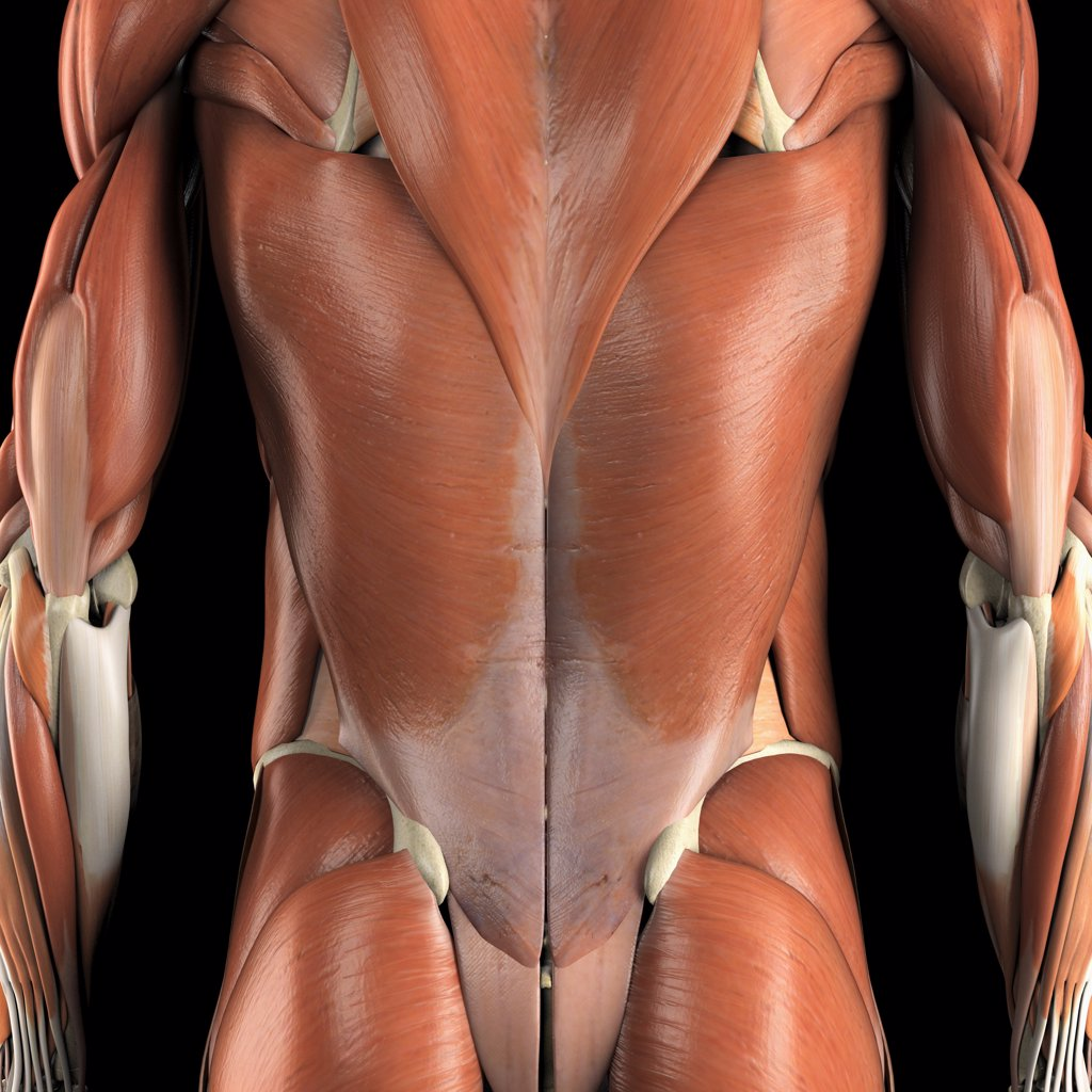 Stock Photo: 4378-1626 Anatomical model showing the trapezius and latissimus dorsi muscles.