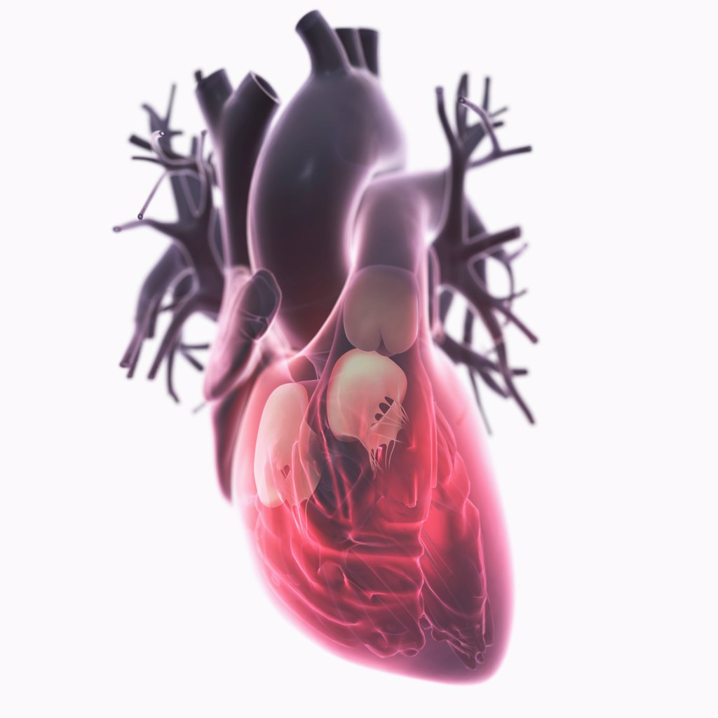 Diagram of a heart, showing the valves. : Stock Photo