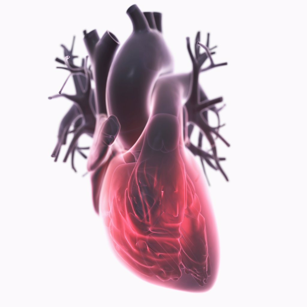 Diagram of a heart. : Stock Photo