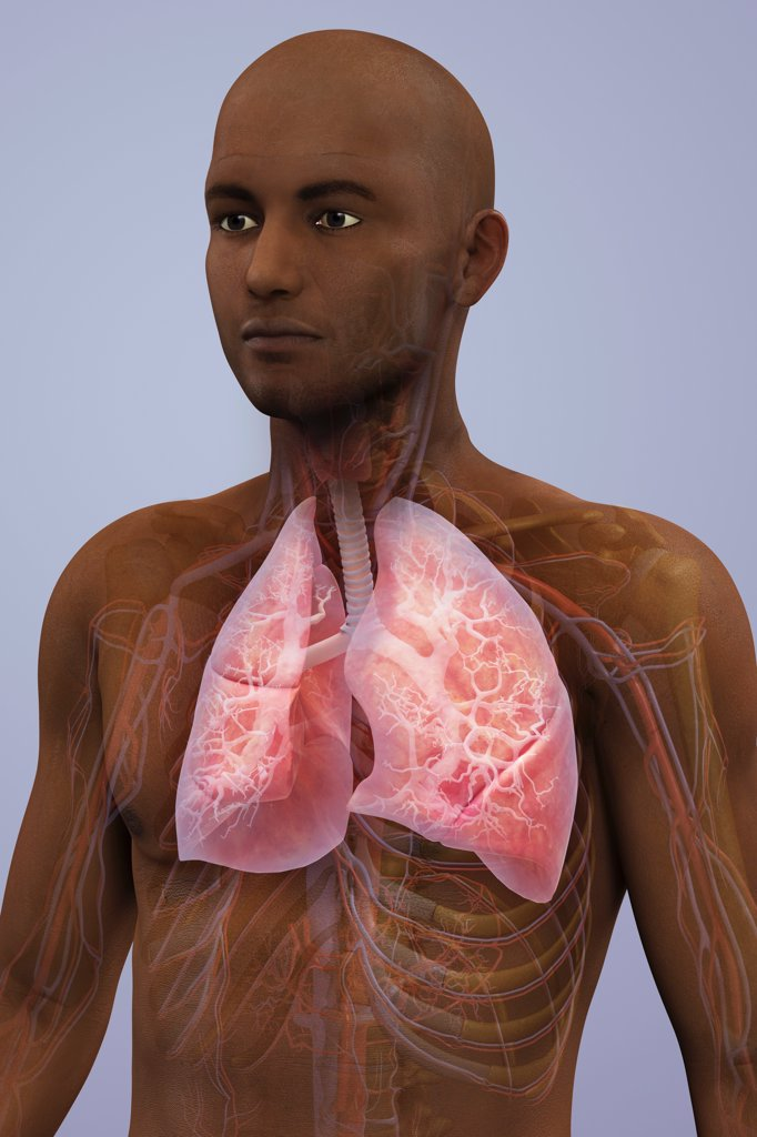 Stock Photo: 4378-1955 Anatomical model of African ethnicity showing the lungs and respiratory system.
